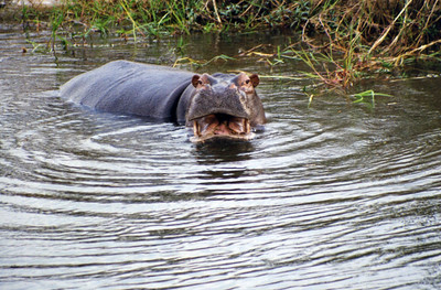 Menacing hippo in Zambezi river