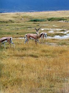 Crater Antelope.