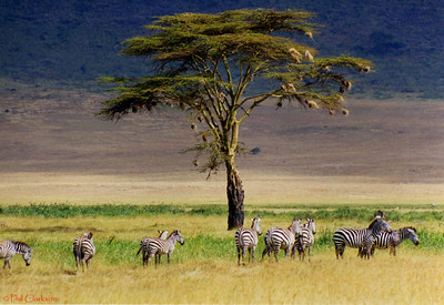 Zebras, Ngorongoro Crater, Tanzania, Africa. 1999.