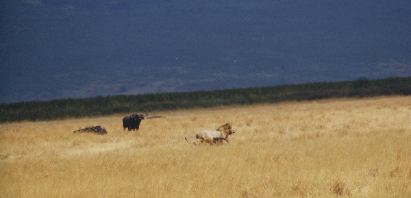 Lion and buffalo playing waiting game. Ngorongoro Crater, Tanzania.