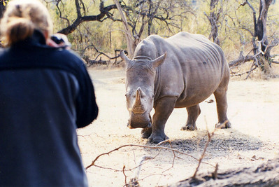 Getting very close for comfort. Justine taking photo of White Rhino - Zambia.