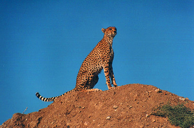 "Cheeta ""mum"" on top of ""Kopje"", Serengeti National Park, Tanzania, Africa 1999"