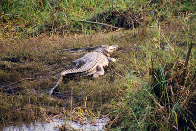 Large crocodile on banks of Zambezi river.