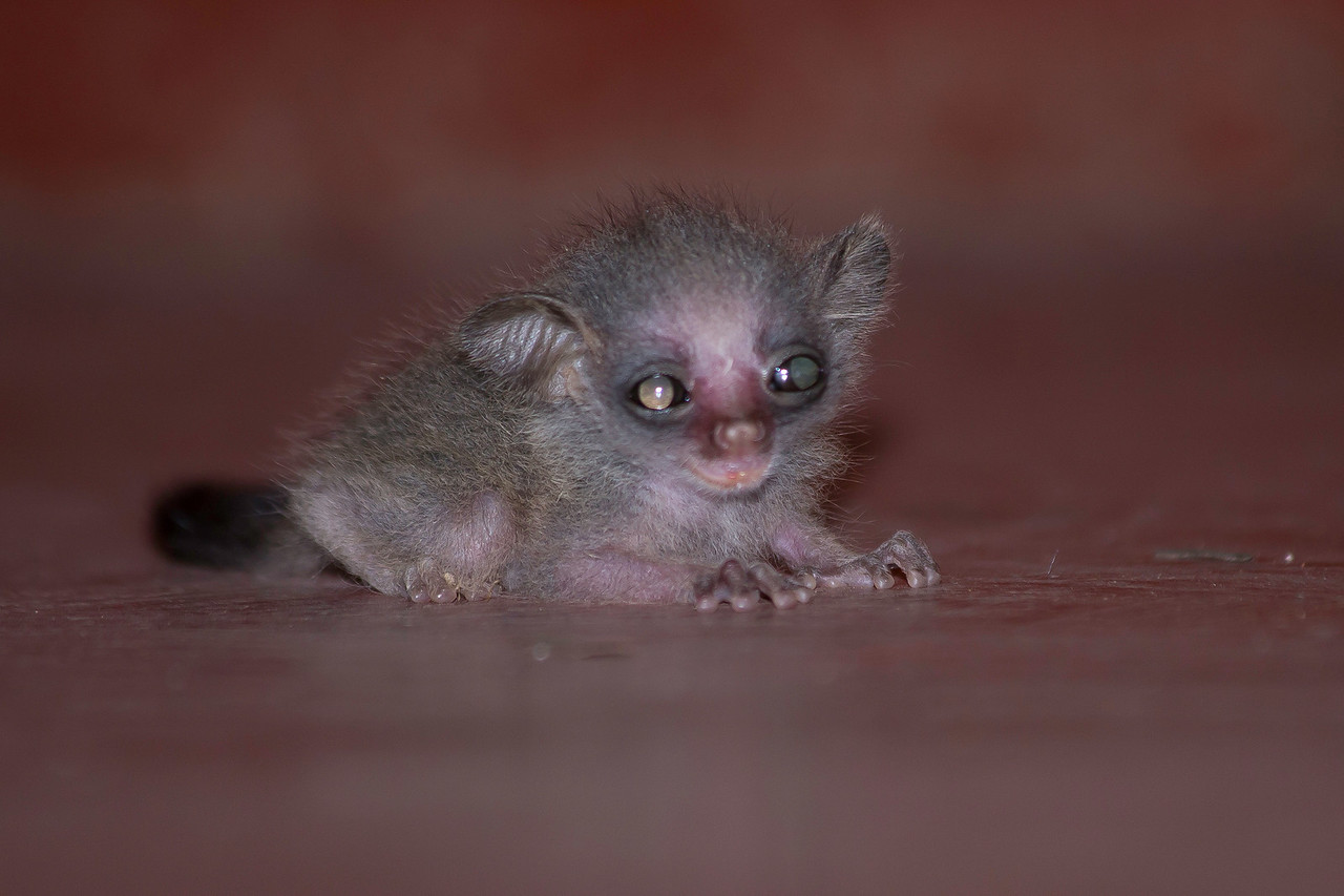 A baby Senegal Galago (a.k.a. bushbaby; Galago senegalensis) that had fallen to the floor in the bar at Nsya Lodge.  We backed away and the mother climbed down from the thatched roof and whisked away her baby.