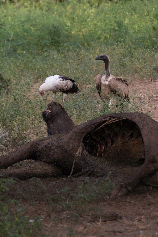 Palm-nut  vulture (Gypohierax angolensis) arriving at a cape buffalo carcass and a larger White-backed vulture (Gyps africanus) approaching.