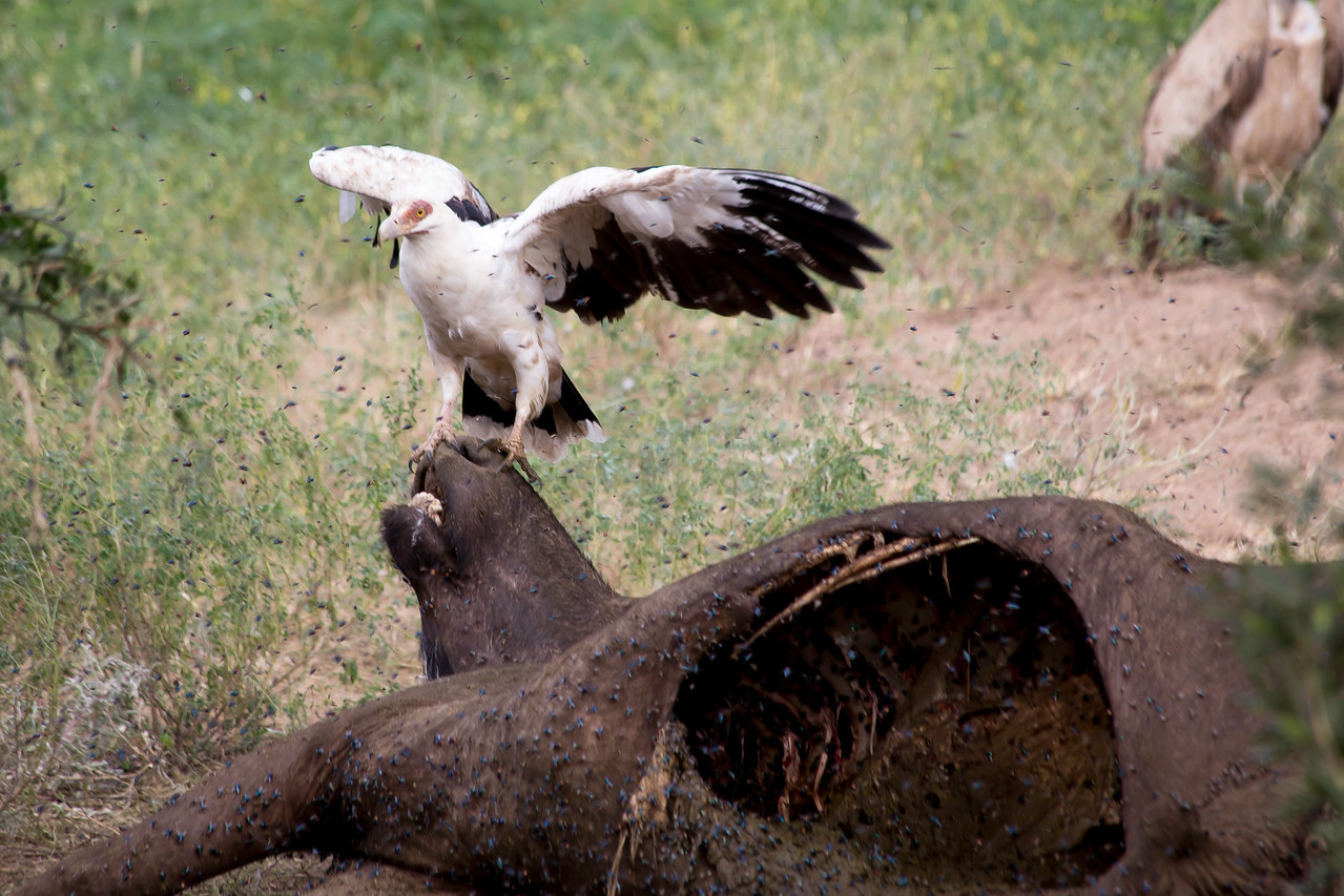 Palm-nut  vulture (Gypohierax angolensis) arriving at a cape buffalo carcass.