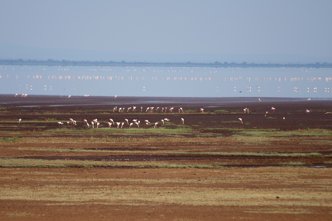 """Greater flamingos (Phoenicopterus roseus) along the shore and in the water of Lake Manyara.  This is a """"soda lake"""", containing a high concentration of sodium carbonate and sodium bicarbonate."""