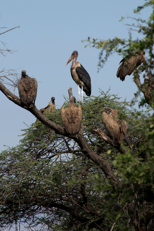 Vultures and a Marabou stork (Leptoptilos crumenifer) waiting for the lions to withdraw from a cape buffalo carcass.