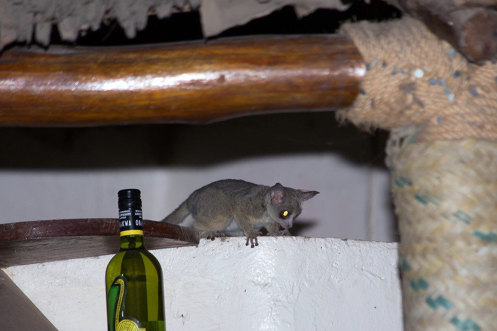 Senegal Galago (a.k.a. bushbaby; Galago senegalensis) climbing down onto the bar at Nsya Lodge in order to fetch her baby that had fallen to the floor.