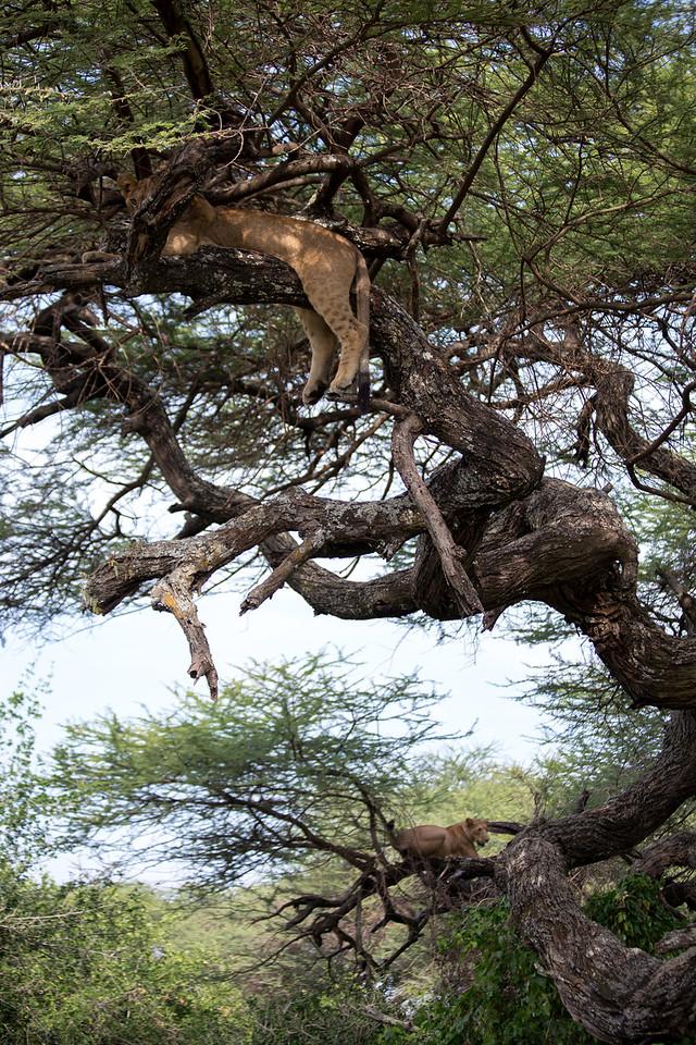 Two of Lake Manyara's famous tree climbing lions