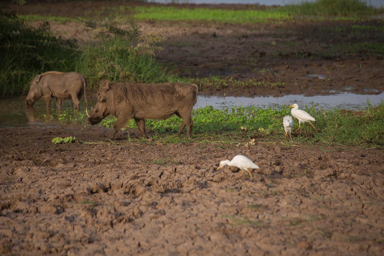 Common warthog (Phacochoerus africanus) and cattle egrets near the shore of Lake Manyara.