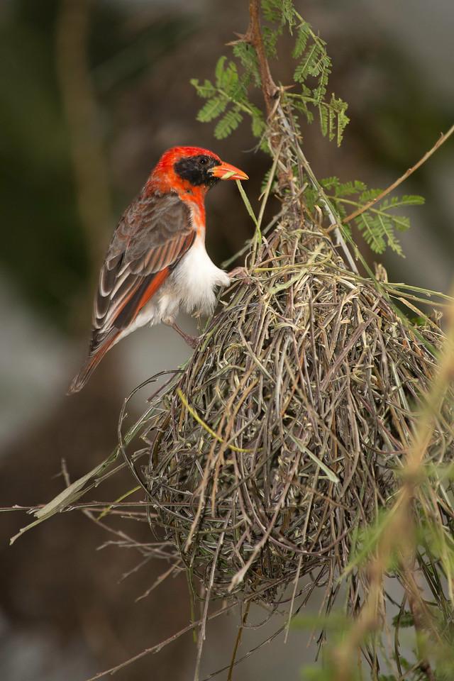 Red-Headed Weaver bird, Duma Explorer headquarters, Arusha, Tanzania