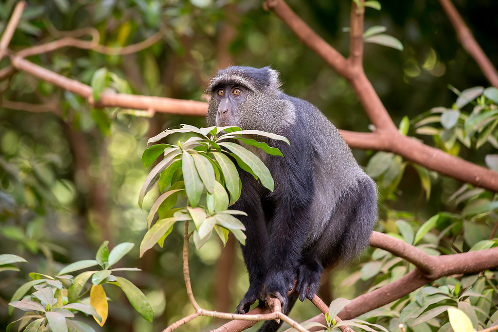 Blue monkey (Cercopithecus mitis) in the forest at Lake Manyara National Park