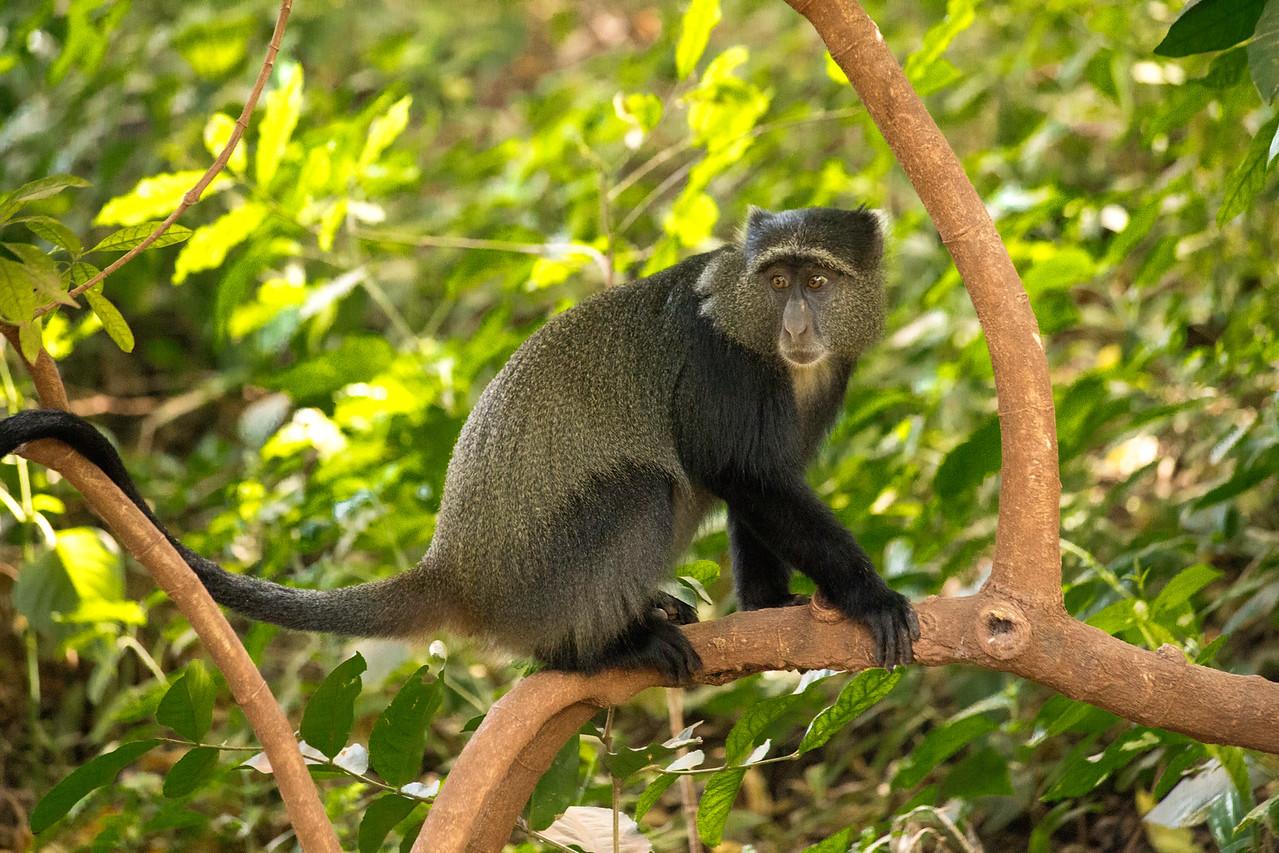 Blue monkey (Cercopithecus mitis) in the forest at Lake Manyara National Park