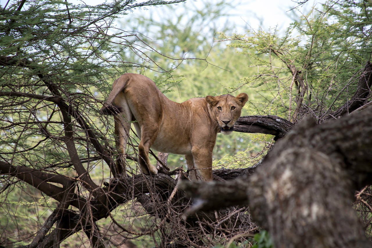 One of Lake Manyara's famous tree climbing lions.  This one was the matriarch.