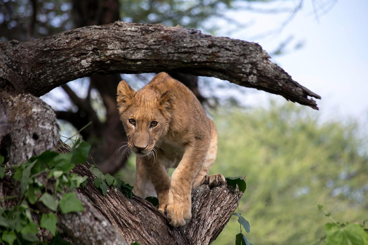 One of Lake Manyara's famous tree climbing lions