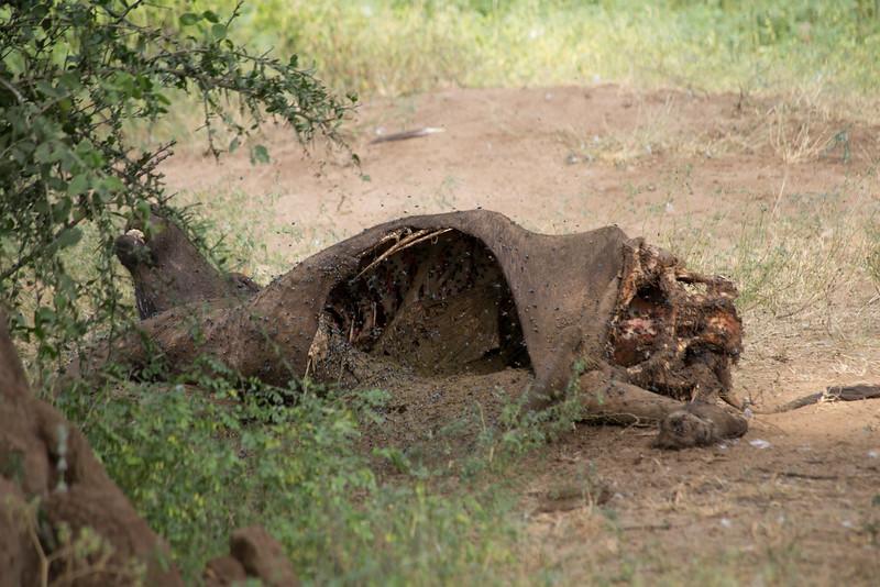 A freshly killed cape buffalo near the pride of lions we saw at Lake Manyara National Park.