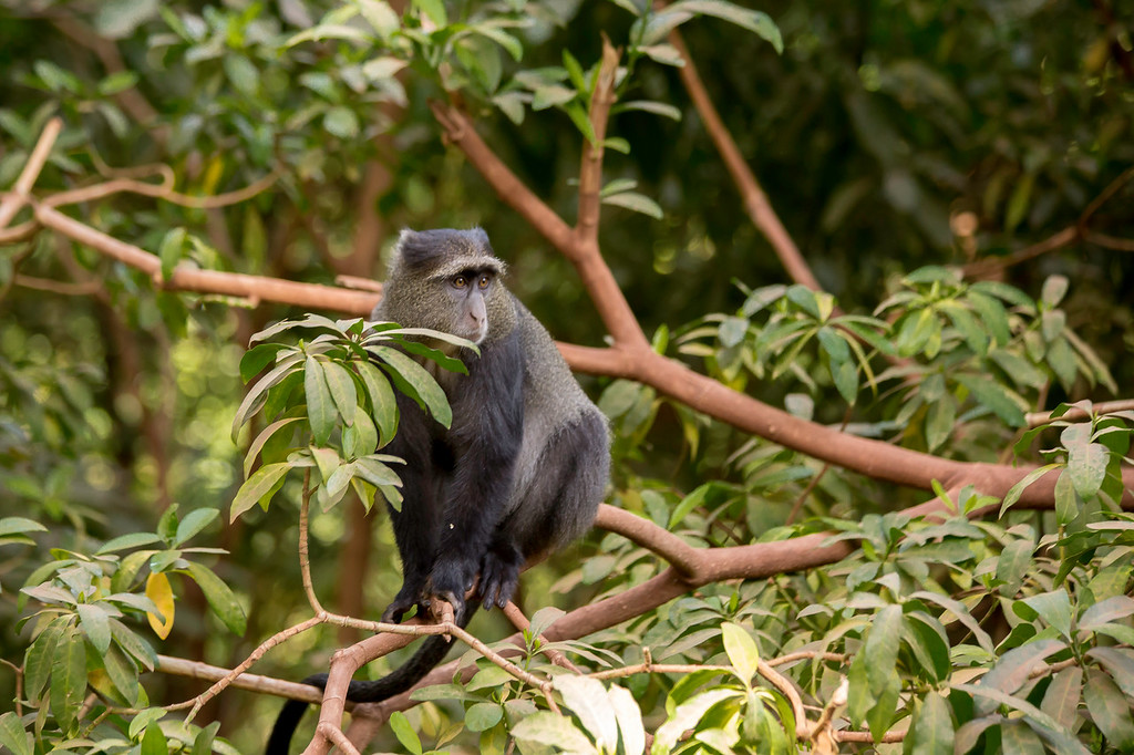 Blue monkey (Cercopithecus mitis) in the forest at Lake Manyara National Park.