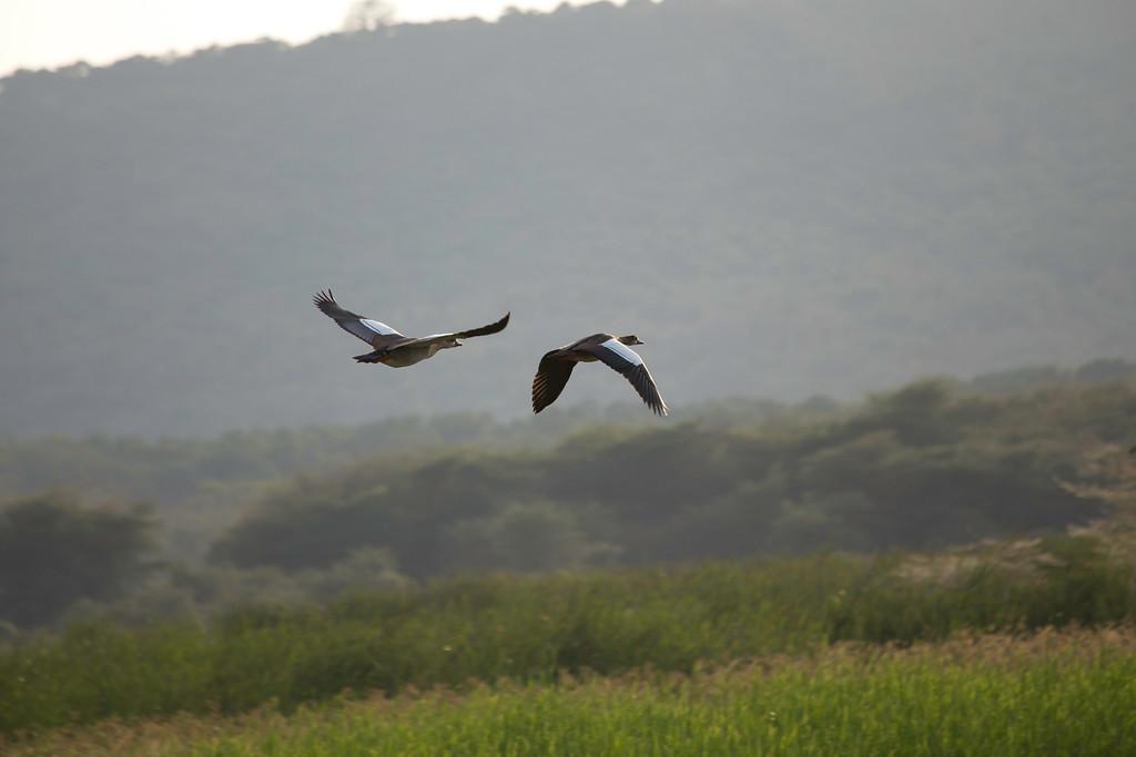 Spur-winged geese (Plectropterus gambensis), Lake Manyara, Tanzania