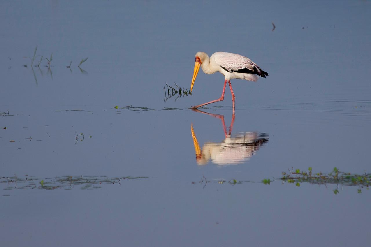 Yellow-billed stork (Mycteria ibis), Lake Manyara, Tanzania