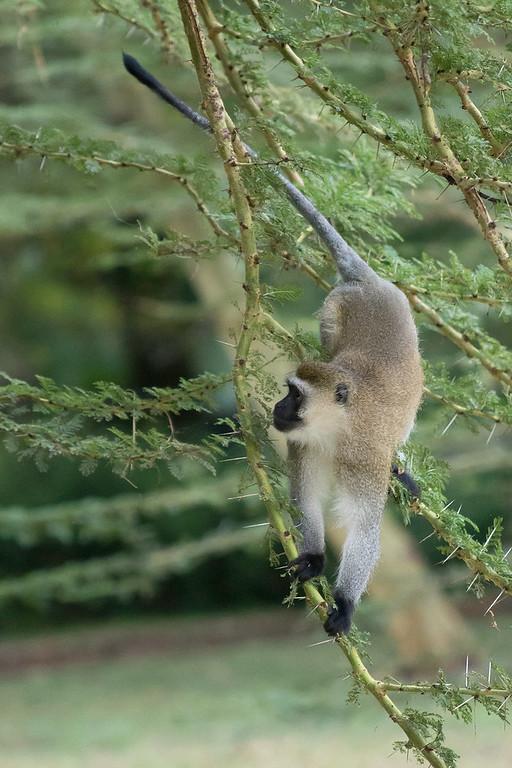 Vervet monkey (Chlorocebus pygerythrus) descending to the ground at Nsya Lodge.