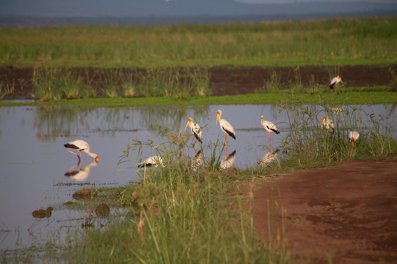 Yellow-billed storks (Mycteria ibis), Lake Manyara, Tanzania