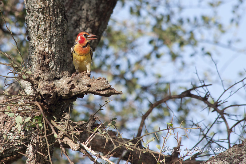 Birds-135<br /> Red-and-Yellow Barbet
