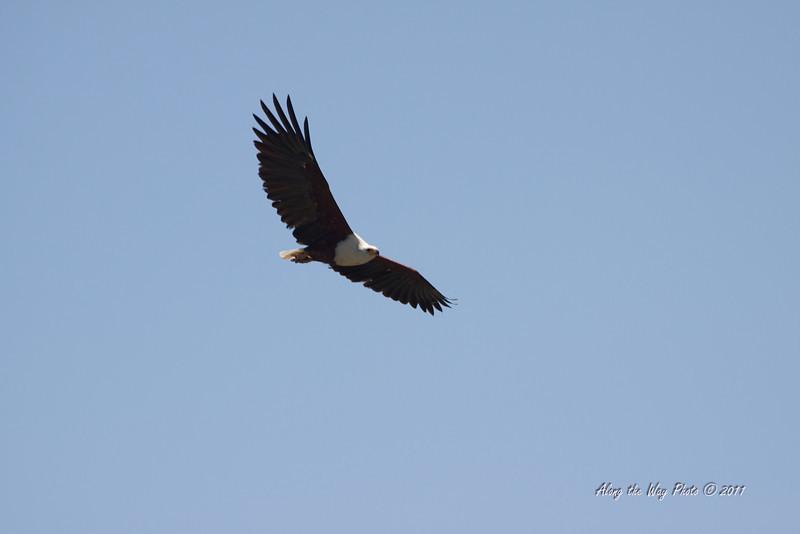Birds 176<br /> African Fish eagle