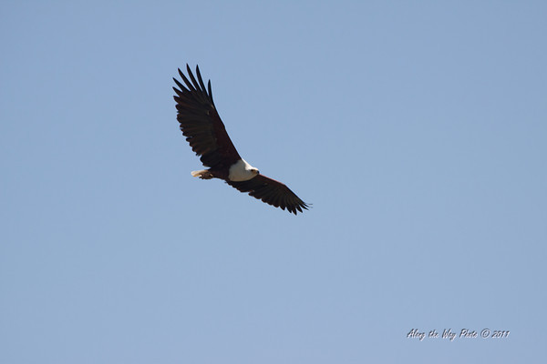 Birds 176<br /> African Fish eagle