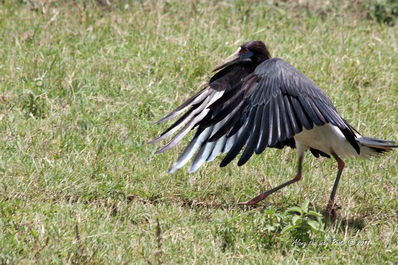 Birds-113<br /> Black Heron