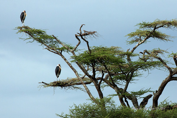 Birds-56<br /> Marabou Storks sitting in a umbrella tree.