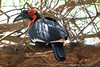 Birds-129<br /> Southern Ground-Hornbill