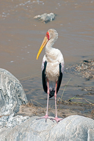Birds-198<br /> Yellow-billed Stork