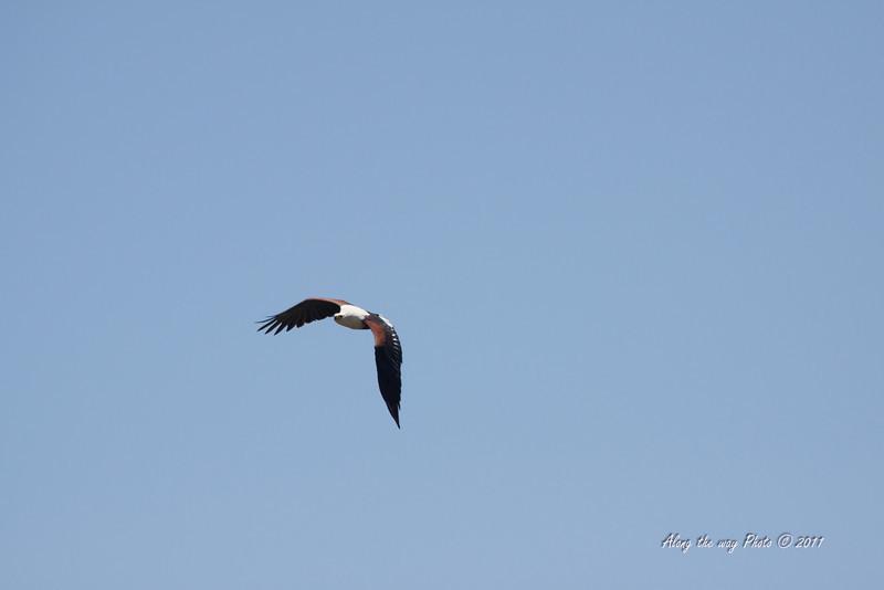 Birds 175<br /> African Fish Eagle