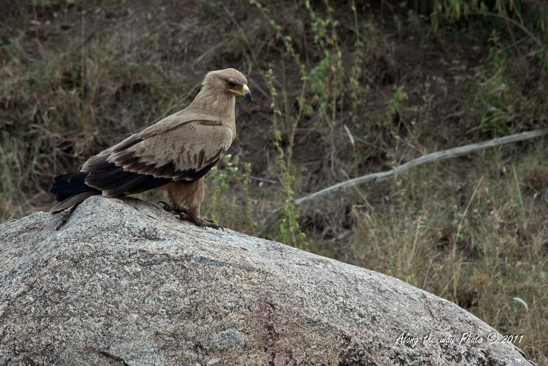 Birds-13<br />  Tawny Eagle