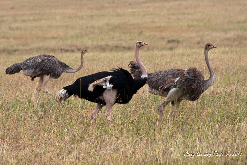 Ostrich-7<br /> Male and two female Ostrichs