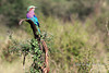 Birds-142<br /> Lilac-breasted Roller