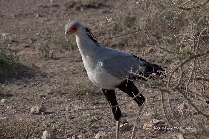 Birds 108<br /> Secretary Bird