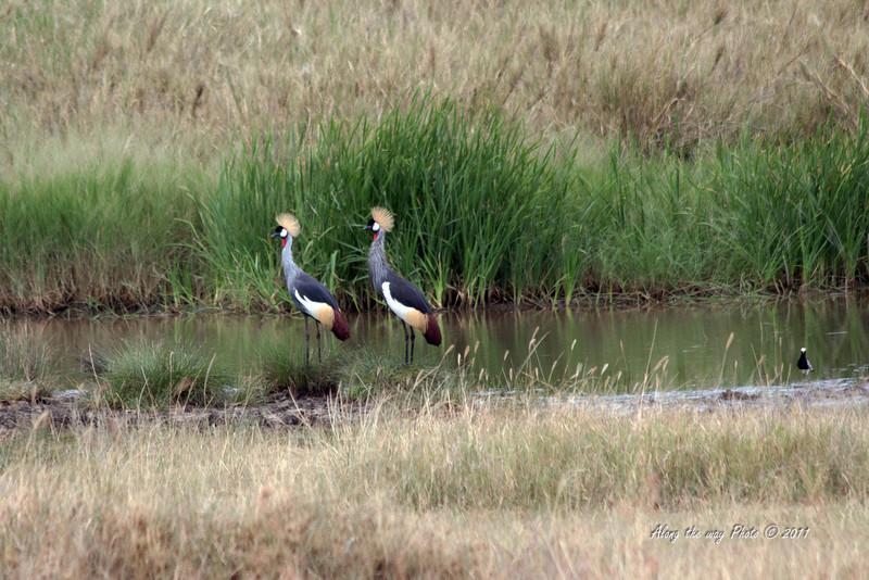 Birds-44<br /> Crested Crown Crane