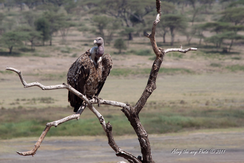 Birds 79<br /> Rippell's Griffion Vulture