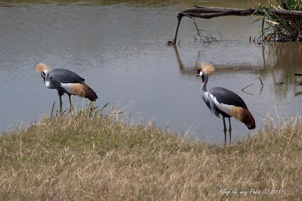 Birds-24<br /> Crested Crown Crane