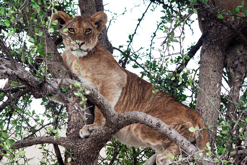Lion-434<br /> One of two Lion cubs in a tree.