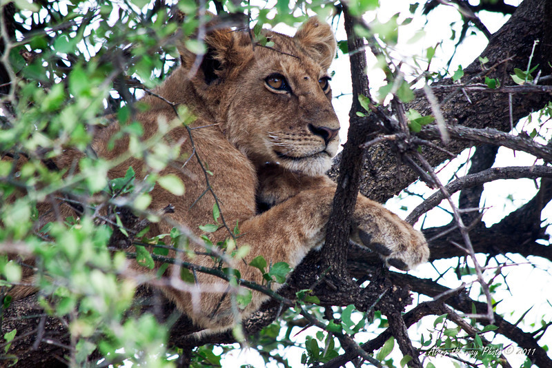 Lion-449<br /> Lion cub laying on a tree branch watching the world go by.
