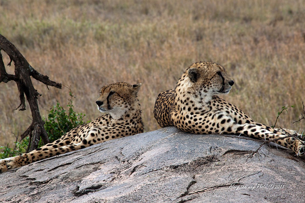 Cheeta-57<br /> Brothers looking arouond for lunch in the Serengeti
