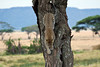 Leopard-49<br /> Leopard climbing down.
