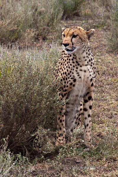Cheeta-98<br /> Female Cheeta in the Serengeti