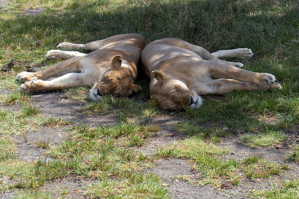 Lions-0<br /> Two females taking a nap over by Lake Masek