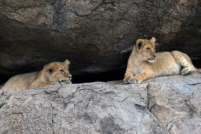 Lions-316<br /> Lion cubs watching from the rocks.
