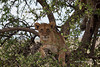 Lion-508<br /> Lion cub in a tree keeping an eye on everything.