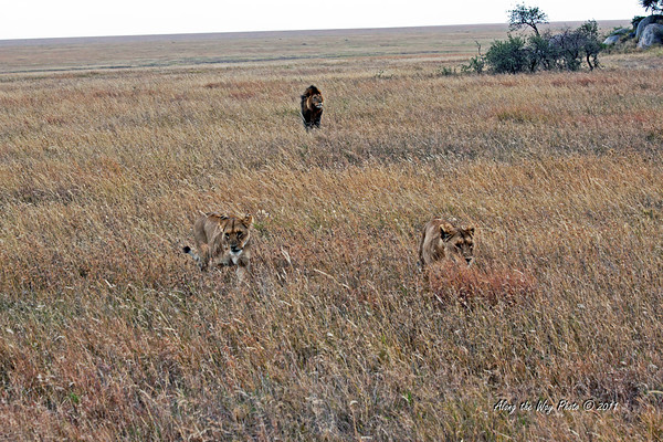 Lions-225<br /> Male and two females coming out of the Kopjes looking for lunch.